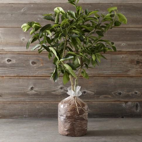 Dwarf Bare-Root Washington Navel Orange Tree