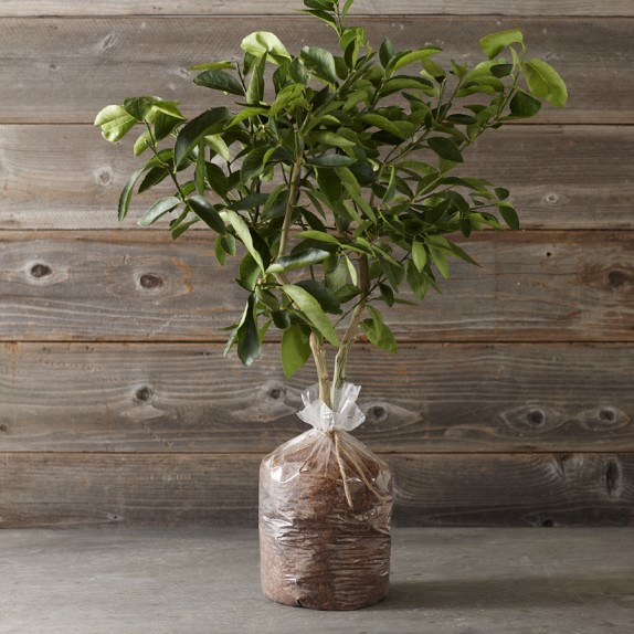Dwarf Bare-Root Washington Navel Orange Tree
