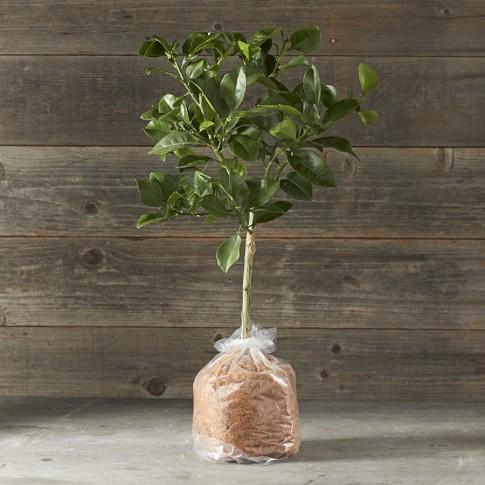 Dwarf Bare-Root Oro Blanco Grapefruit Tree
