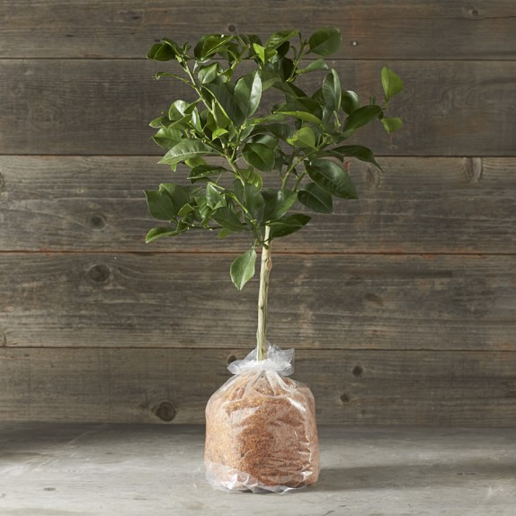 Dwarf Bare-Root Oro Blanco Grapefruit Tree