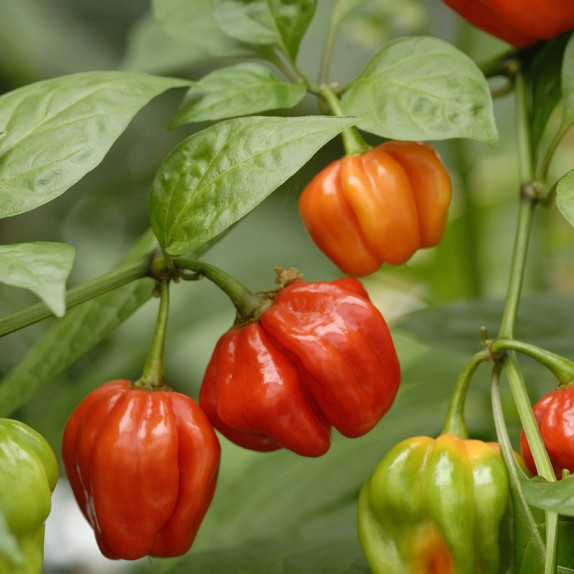 Hot Pepper Collection, 4