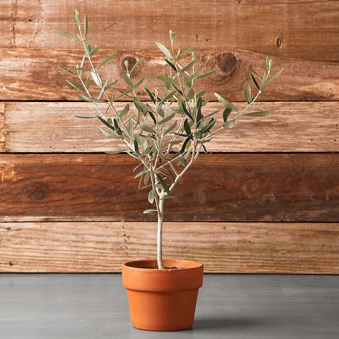 Olive Tree In Terra Cotta Pot