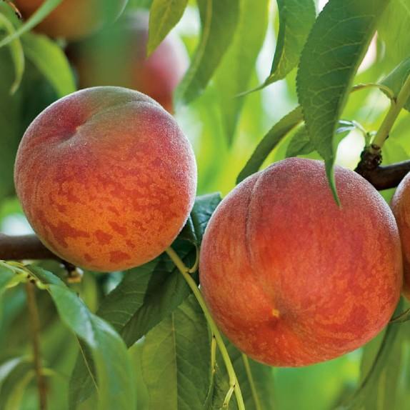 Peach Tree, Contender