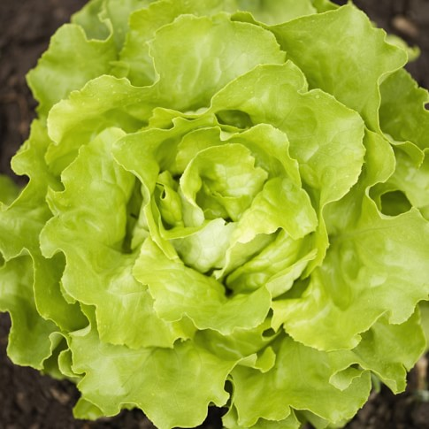 Loose Leaf Lettuce Collection, 4