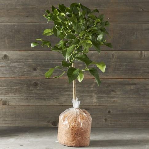 Dwarf Bare-Root Genoa Italian Lemon Citrus Tree