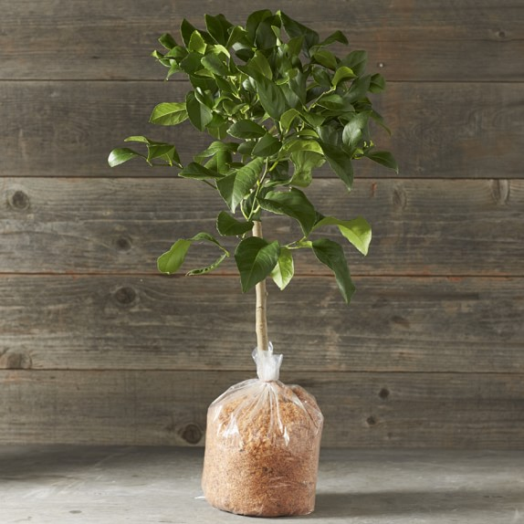 Dwarf Bare-Root Genoa Italian Lemon Citrus Tree