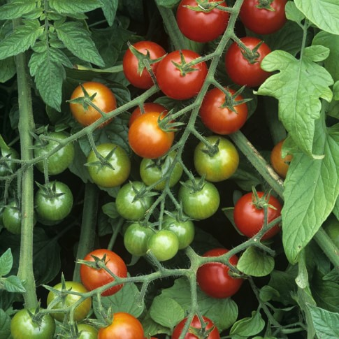 Cherry Tomato Collection, 4