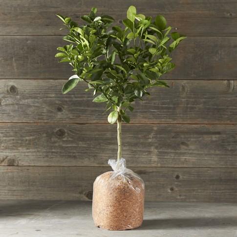 Dwarf Bare-Root Fukushu Kumquat Citrus Tree