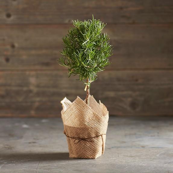 Rosemary Topiary, 5