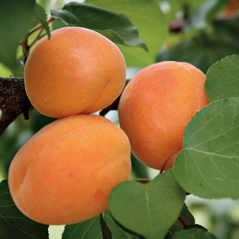 Apricot Tree, Moorpark