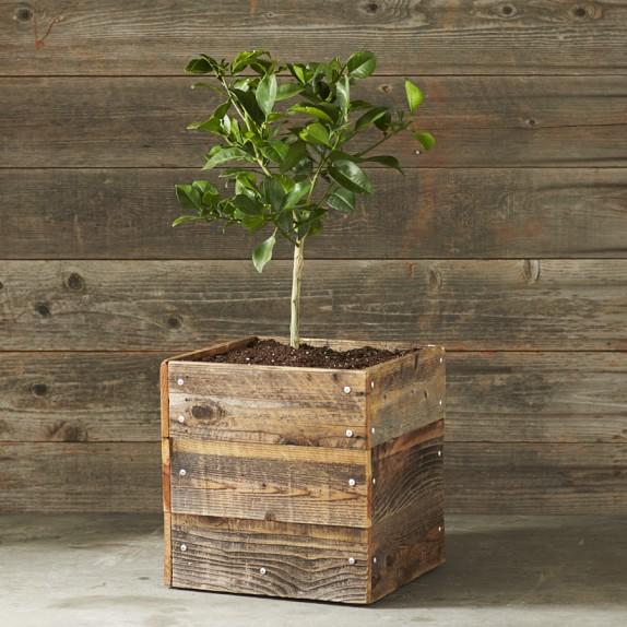 Dwarf Oro Blanco Grapefruit Tree