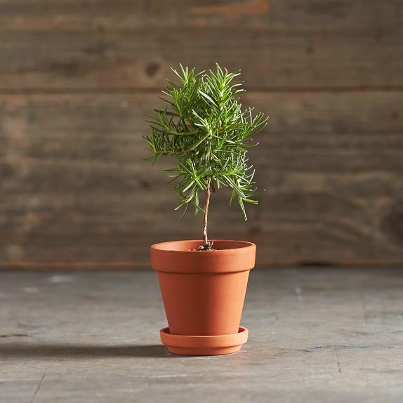 Rosemary Topiary, 3