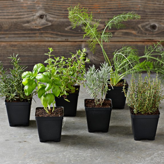 Herbs de Provence Herbs 6-Pack