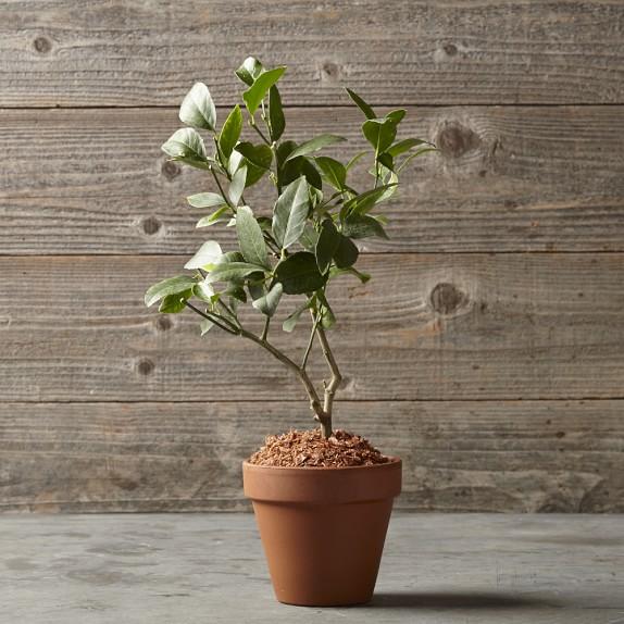 Lemon Tree in Terra-Cotta Pot
