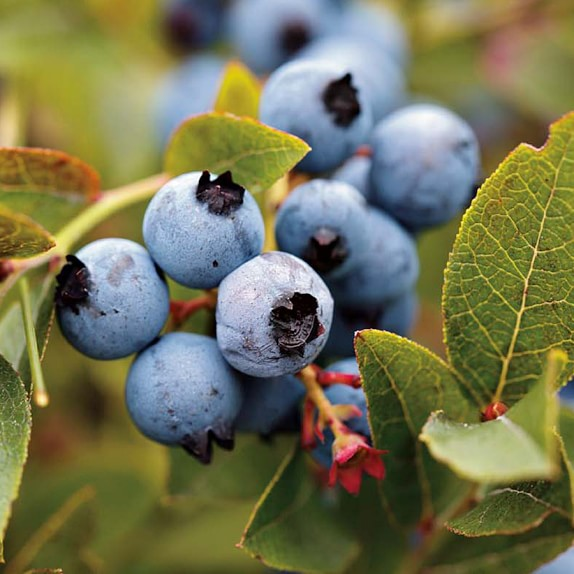 Blueberries, Jersey